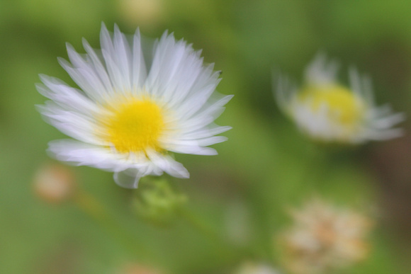 Daisy dreams_5306.jpg
