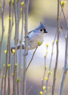 Spring Titmouse