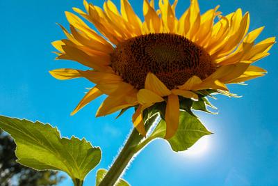 sunflower sky_5790.jpg